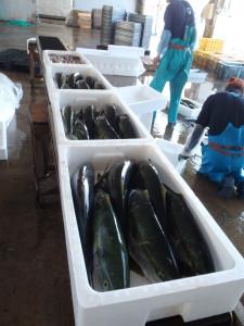獲った魚はきれいに箱詰めされる。