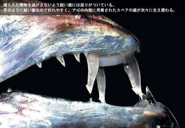 タチウオの歯